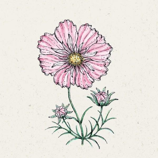 "Blumensamen Jora Dahl - Cosmos bipinnatus ""Rosetta"" (Kosmee)"